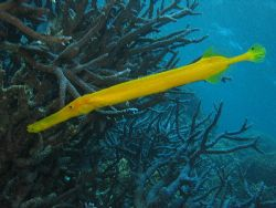 Trumpet fish-Great Barrier Reef- Aust by Joshua Miles